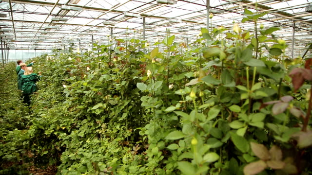 Growing and caring for roses in the greenhouse video