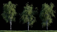 Growing birch trees on black background video