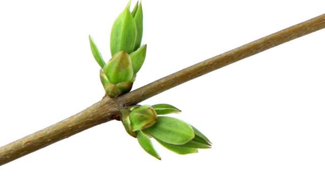 Growing branch - panning, time lapse video