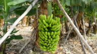 Growing  bunch of bananas on plantation video