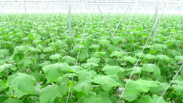 Growing cucumbers on an industrial scale,in the greenhouse. video