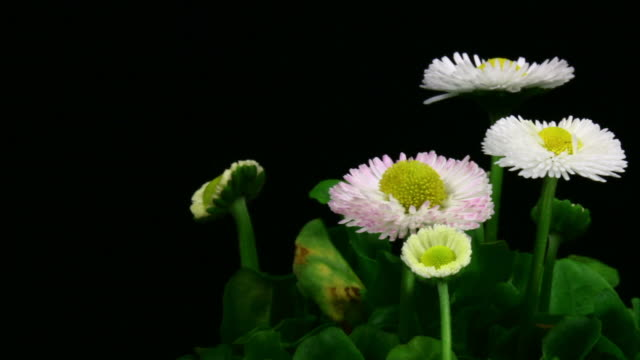 Growing daisies in two cuts HD video