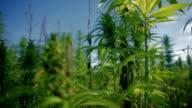 HD: Growing field of large industrial hemp video