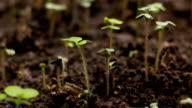 Growing Green Mustard Plants Agriculture Spring Timelapse video