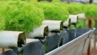 Growing hydroponics vegetable video