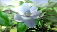 growing magnolia flower time lapse animation video
