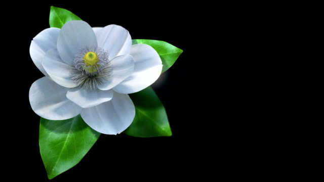 growing magnolia flower time lapse video