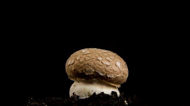 Growing mushroom, time lapse. video