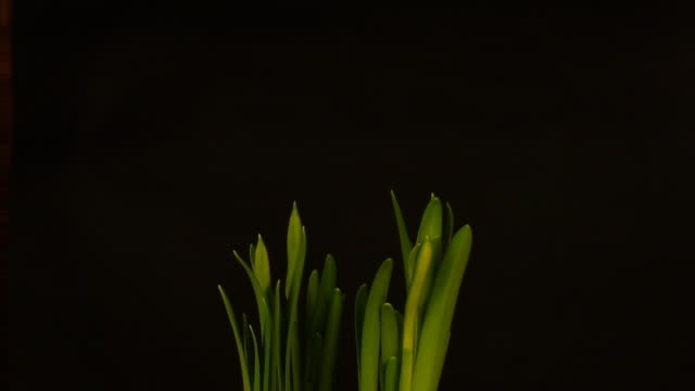 Growing Narcissus video