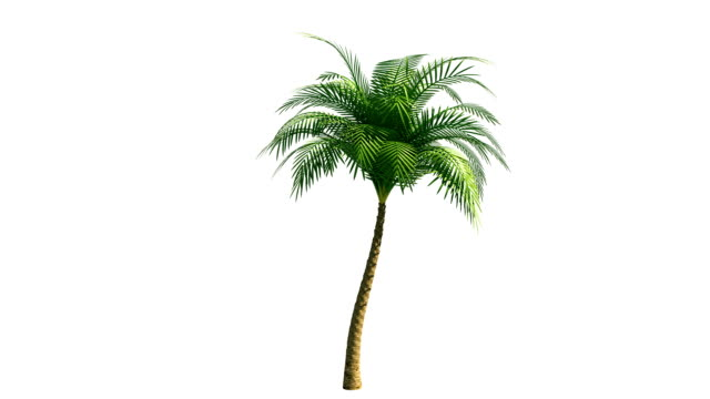 Growing palm tree with alpha channel video