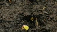growing radish seeds video