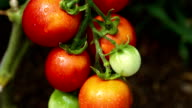 Growing tomatoes close up video