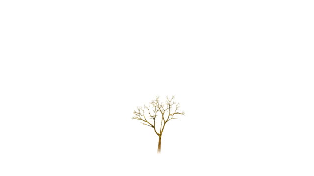 Growing tree on white background. video