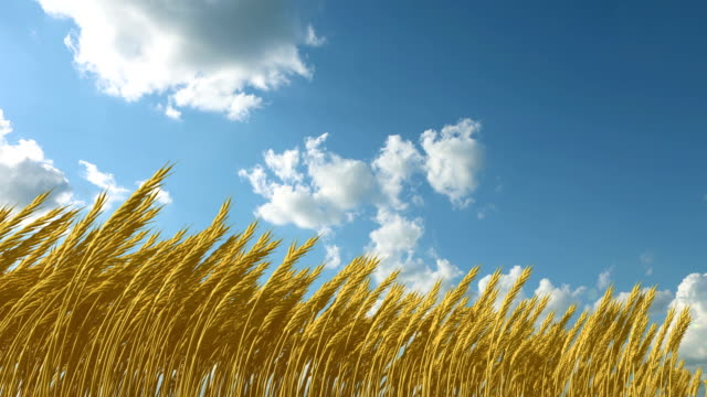 growing wheat against the sky video