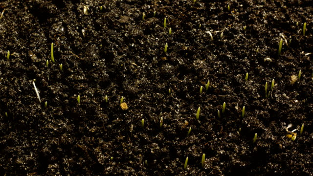 Growing Wheat Seeds Agriculture Timelapse video