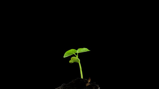 Grows Sprouting Out Of Ground, plant timelapse Growing video