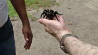 Guatemalan Tarantula in Hand at Tikal video