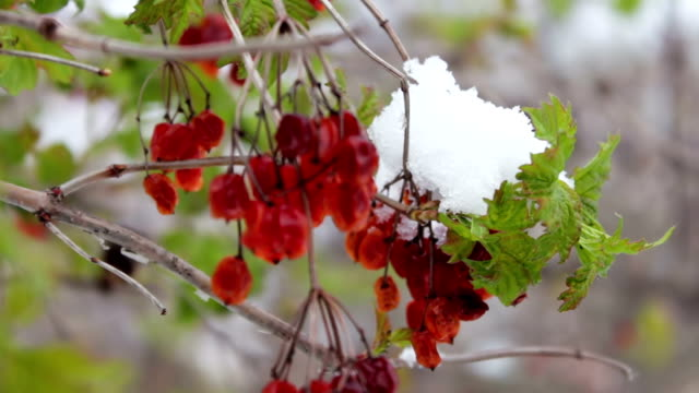 Guelder-rose branches with green leaves video