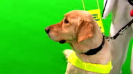 Guide dog and blind woman isolated on green video