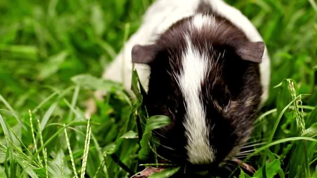 Guinea Pig Eating Grass video