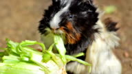 guinea pig eating video