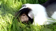 Guinea pigs in the grass eating outside in the green lawn video