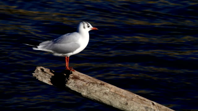 Gull on stump. video