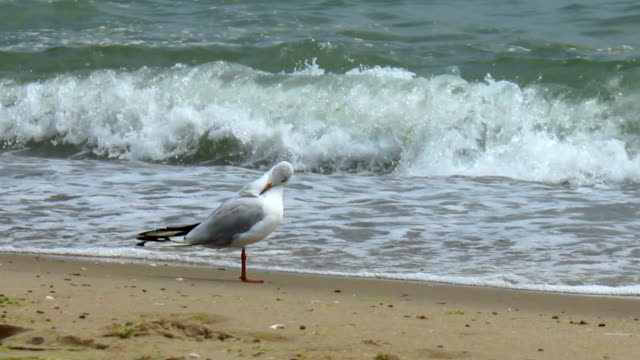 Gull on the sea shore video