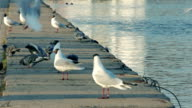 Gulls and Pigeons on Concrete Embankment of River video