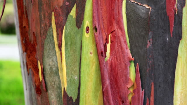 Gum tree skin video