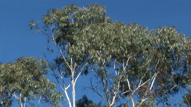 gum trees on sky video