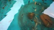 Guppy, Poecilia reticulata fish with dolly slide video
