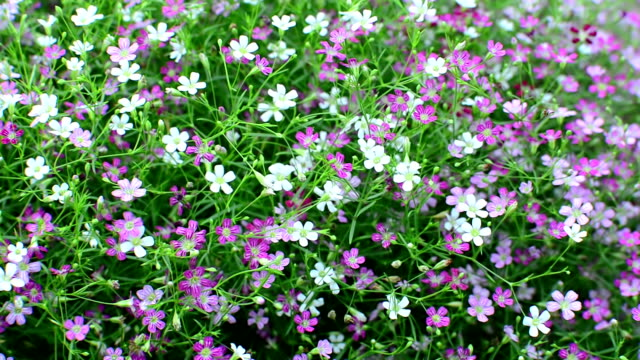 Gypsophila flower video