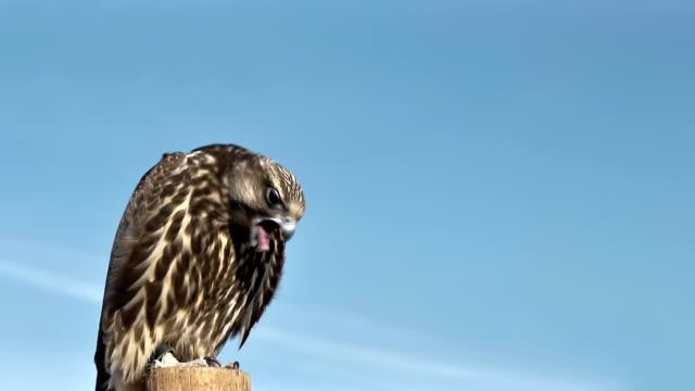 Gyrfalcon Falco Rusticolus vomiting close up. video
