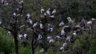 Habitat of Asian Openbill Storks video