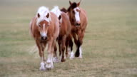 Haflinger Horses walking on a field video