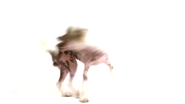 Hairless Chinese Crested dog chasing its own tail video