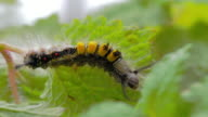 Hairy caterpillar video