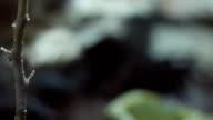 Hairy Tarantula video