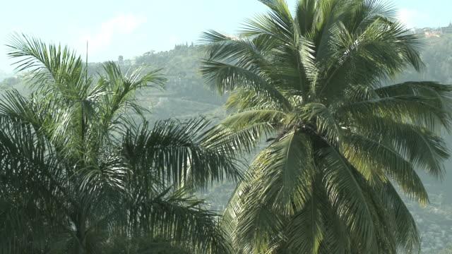 Haitian Palm Trees video
