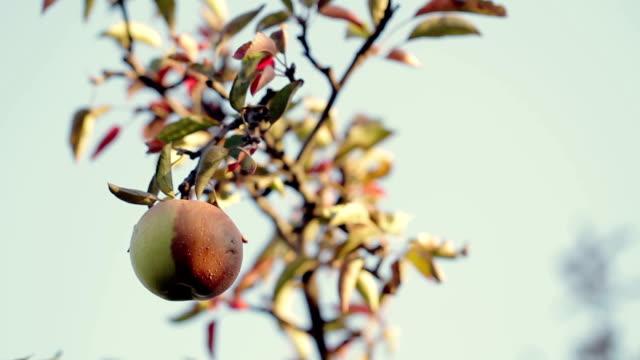Half- Rotten Apple on a Tree video