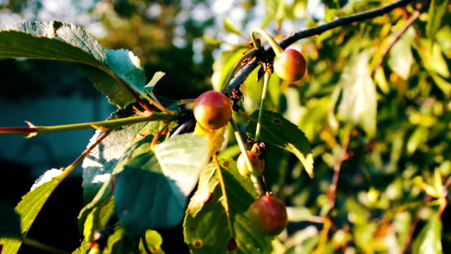 Half-ripe cherries tree branch with pair of tasty fruit on wind. Close up half-ripe fresh cherry video