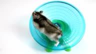 Hamster exercise wheel video