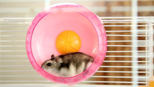 Hamster in a wheel video