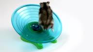 Hamster running on exercise wheel video