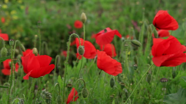 hand brushing through poppy field slow motion video