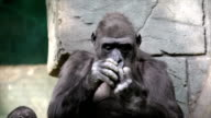Hand care of a gorilla female, very muscular monkey with mighty and calloused fingers. video