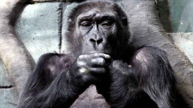 Hand care of an old gorilla female, very muscular monkey with mighty and callous fingers. video