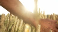 HD SUPER SLOW MO: Hand Caressing The Wheat video
