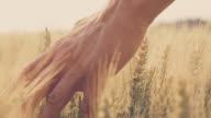 SLO MO Hand caressing wheat ears video